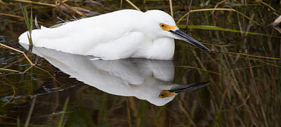 Snow Egret Reflection Art Print by Andres Leon