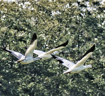 Photograph - Snow Geese At Reifel by Lawrence Christopher