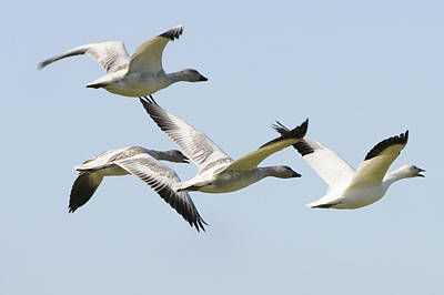 Photograph - Snow Geese In Flight by Lawrence Christopher