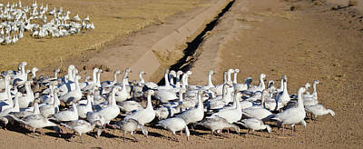 Photograph - Snow Geese On Parade by Harry Strharsky