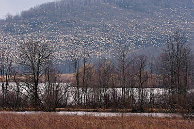 Photograph - Snow Geese Rising by William Jobes