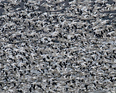 Photograph - Snow Geese Takeoff by Craig Leaper