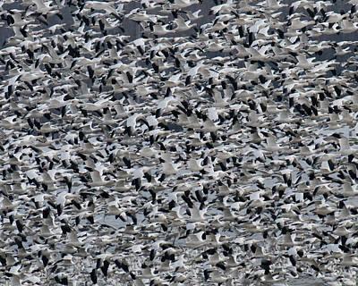 Snow Geese Takeoff Art Print