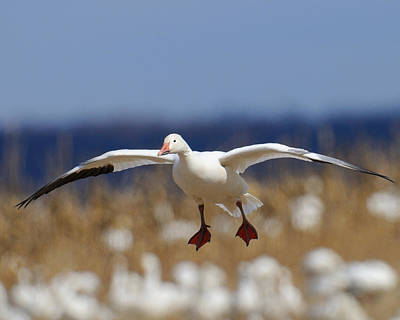 Photograph - Snow Goose Landing by Craig Leaper