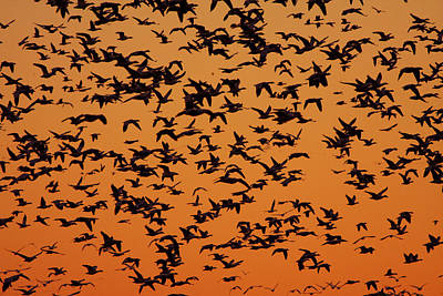 Snow Goose Migration Art Print by Mircea Costina Photography