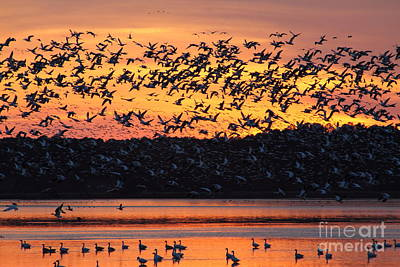 Snow Goose Sunset Art Print by Ursula Lawrence