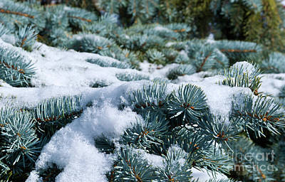 Snow In The Pines Art Print