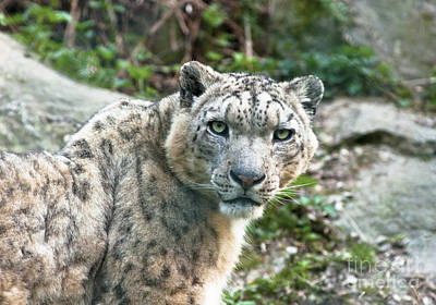 Animals Photograph - Snow Leopard by Andrew  Michael