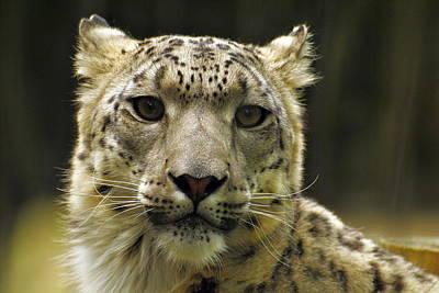 Photograph - Snow Leopard by Pamela Parton