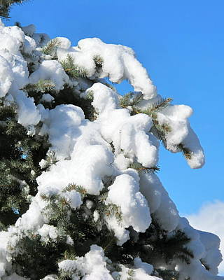 Photograph - Snow On Pine Pack by Phyllis Kaltenbach