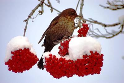 Snow On Rowan Berries Art Print by Meeli Sonn