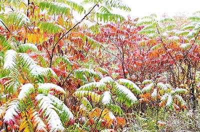 Rhus Photograph - Snow On Sumac  by Thomas R Fletcher
