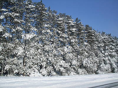 Photograph - Snow Pines by Ted Kitchen