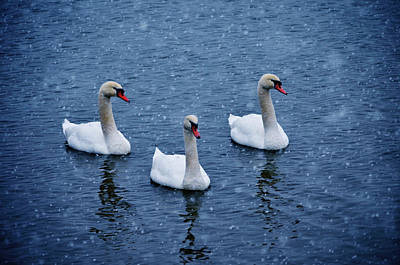 Pinion Photograph - Snow Swans by Brian Stevens