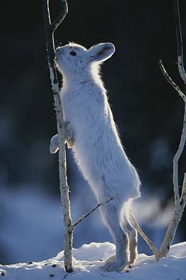 Snowshoe Hare Photograph - Snowshoe Hare Feeding On The Bark by Michael S. Quinton