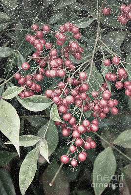 Photograph - Snowy Berries by Jim And Emily Bush