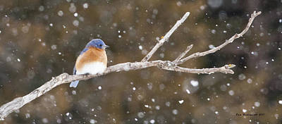 Photograph - Snowy Bluebird by Pam  Holdsworth