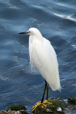 Snowy Egret 1 Art Print by Joe Faherty