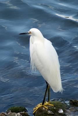 Photograph - Snowy Egret 1 by Joe Faherty
