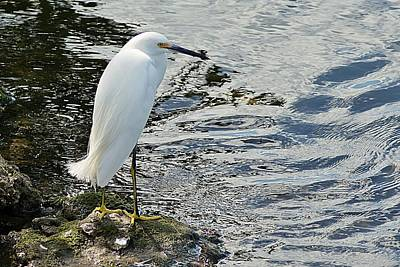 Photograph - Snowy Egret 2 by Joe Faherty
