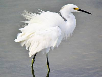 Snowy Egret All Fluffed Up Art Print by Paulette Thomas