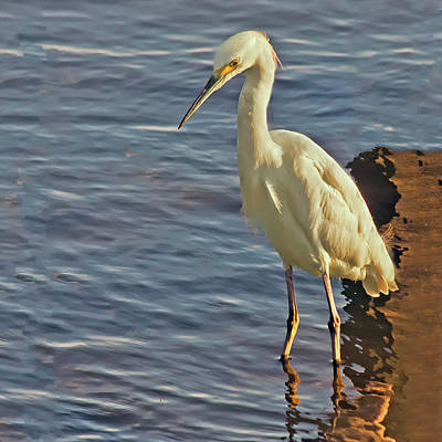 Snowy Egret At Sunrise Art Print