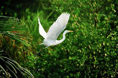 Flying Photograph - Snowy Egret Bird by Shahnewaz Karim