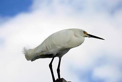 Photograph - Snowy Egret  by Christopher Kirby