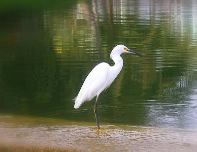 Photograph - Snowy Egret by Cindy Wright