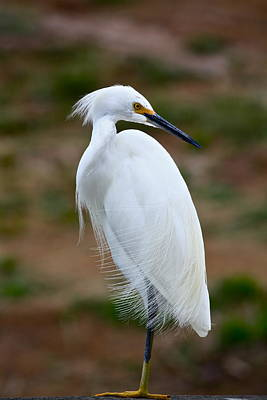 Photograph - Snowy Egret by Diana Hatcher