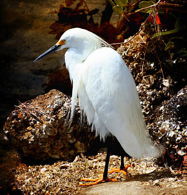 Photograph - Snowy Egret by Ellen Heaverlo