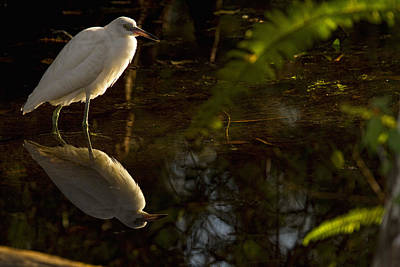 Without People Photograph - Snowy Egret, Florida by Robert Postma