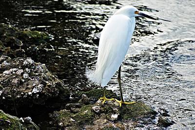 Photograph - Snowy Egret by Joe Faherty