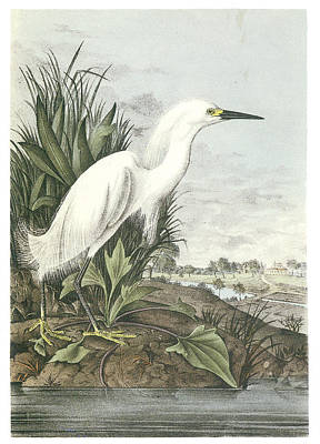 Egret Painting - Snowy Egret by John James Audubon