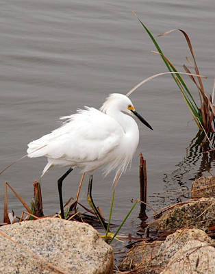 Snowy Egret Art Print by Kay Lovingood