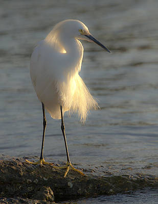 Photograph - Snowy Egret On Rock by Dorothy Cunningham