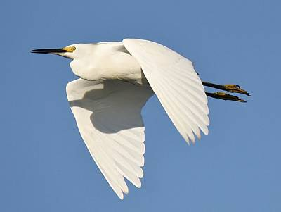 Snowy Egret Art Print by Paulette Thomas