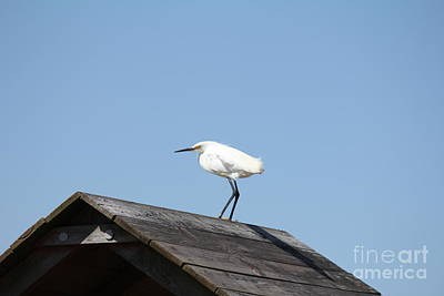 Photograph - Snowy Egret by Scenesational Photos
