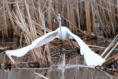 Art Print featuring the photograph Snowy Egret Takeoff by Mark J Seefeldt