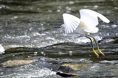 Beach House Signs - Snowy Egret Takes Flight by Roy Williams