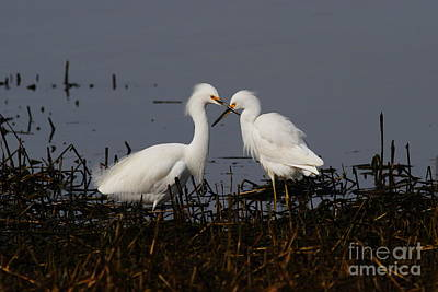 Egret Photograph - Snowy Egret . This Swan Heart Shape Thing Is Not As Easy As It Looks . 7d12062 by Wingsdomain Art and Photography