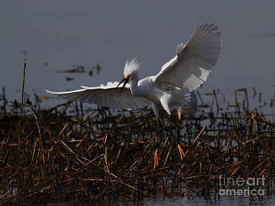 Bif Photograph - Snowy Egret . Wiiiiiiiiiiiiii . 7d12048 by Wingsdomain Art and Photography