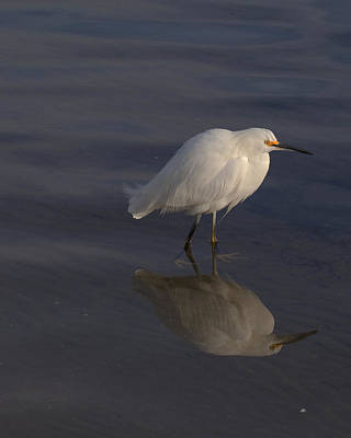 Snowy Egret With Reflection Art Print by John Noel