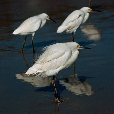 Photograph - Snowy Egrets by Ronald Broome