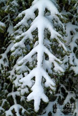 Snowy Fir Tree Print by Sami Sarkis