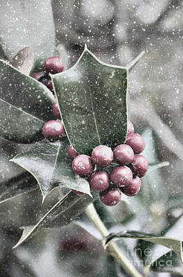 Photograph - Snowy Holly by Jim And Emily Bush