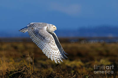 Photograph - Snowy Owl 1b by Sharon Talson