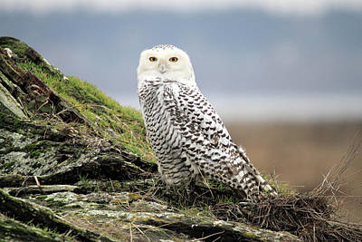 Photograph - Snowy Owl At Boundary Bay Vancouver by Pierre Leclerc Photography