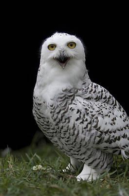 Snowy Owl Bubo Scandiacus At A Zoo Art Print
