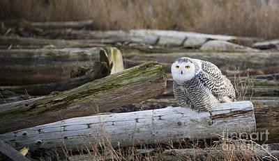 Photograph - Snowy Owl by Chris Dutton